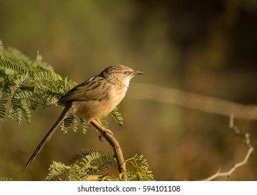 A beautiful light yellow brown color jungle babbler bird with green background in nature in early morning during sunrise.