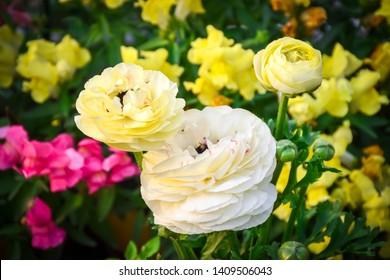 Beautiful Light Yellow Ranunculus Flowers at gayatri ashram in haridwar.