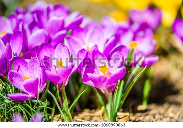 Beautiful lightful shiny spring breeze flower plants growing crocus bright yellow orange purple and white snowdrop in a green flowering park on a sunny spring summer morning day with bees butterfly