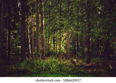 Beautiful lighting in dense wild forest landscape with conifer trees and green grass