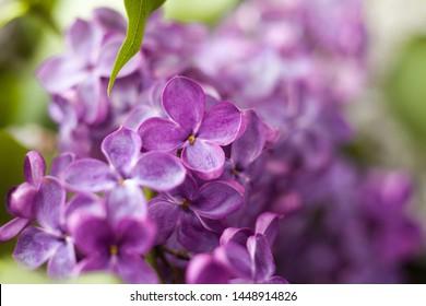 beautiful lilac flowers, lilac bloom, close up, macro