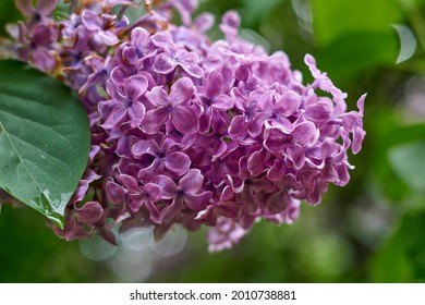 beautiful lilac flowers branch on a green background, natural spring background, soft selective focus. High quality photo