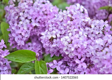 Beautiful lilac flowers with selective focus. Purple lilac flower with blurred green leaves. Spring blossom. Blooming lilac bush with tender tiny flower. Purple lilac flower on the bush. Summer time
