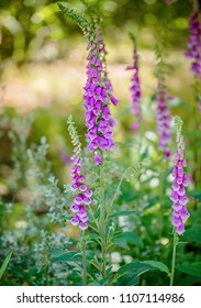 Beautiful lilac lupines in tall grass, with focus on flowers and background blurred into the distance.  Space for text.