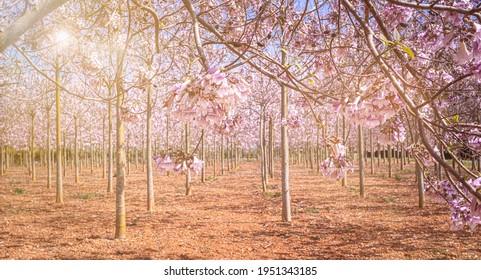 beautiful lilac plantation on Mallorca, Spain