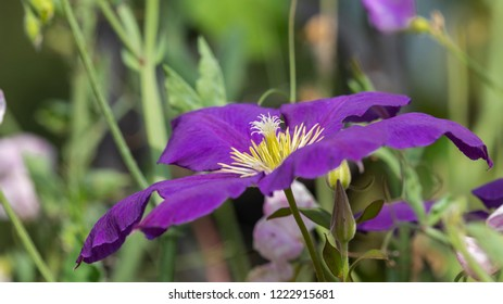Beautiful lilac purple clematis flower with a yellow center in the garden in summer on a green background