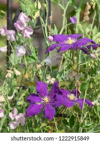 Beautiful lilac purple clematis flowers with yellow center and pink sweet peas in the garden in summer on a green background