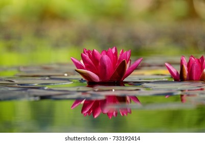 Beautiful Lilly flower - The national flower of Bangladesh