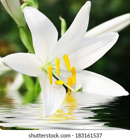 beautiful lily flower with reflection in water