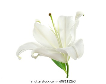 Beautiful lily on white background