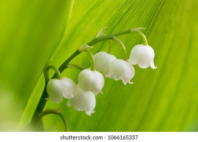 beautiful lily of the valley blossom against green leaf background. convallaria majalis in the garden.