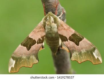 A beautiful Lime Hawk-moth, Mimas tiliae, perching on a twig.