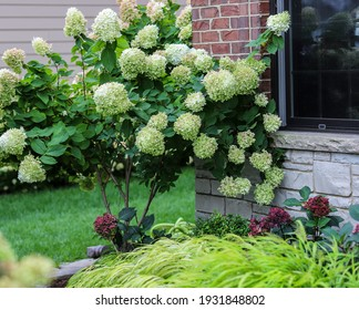 Beautiful limelight hydrangea bush in full bloom with Japanese forest grass.