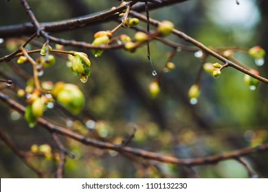 Beautiful linden branches with flowering buds close-up in rain spring time. Picturesque branches of tree in rain weather. Colorful background of buds of leaves of linden with rain drops.