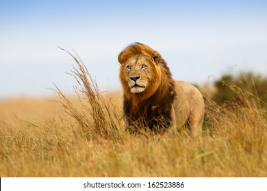 Beautiful Lion Caesar in the golden grass of Masai Mara, Kenya