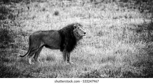Beautiful Lion Caesar in the savanna. scorched grass. male with battle scars