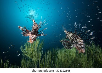 Beautiful lion fish (or turkey fish) hovering in mid water hunting for small prey in blue water over off coral on a coral reef in the Indian Ocean on the Mussandam coast of Oman