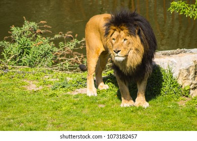 Beautiful lion in front of a pond in a wildlife park in the north west of Belgium