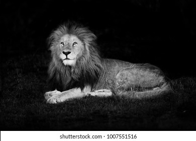 Beautiful Lion Lolparpit in Masai Mara, Kenya