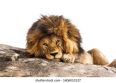 Beautiful lion lying on a stone against white background