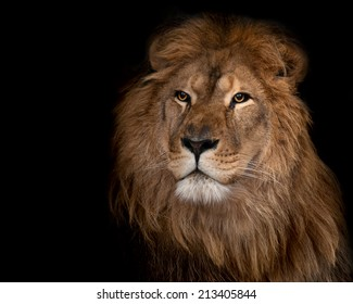 Beautiful lion on a black background.
