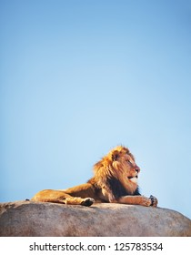 Beautiful Lion on top of a rock with blue sky, (Panthera leo) considered a threatened speacies.
