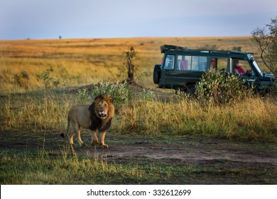 Beautiful lion with a safari car in the background in Kenya, Africa