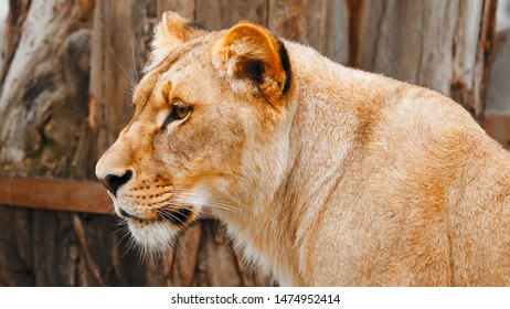 beautiful lioness, close up of a lioness