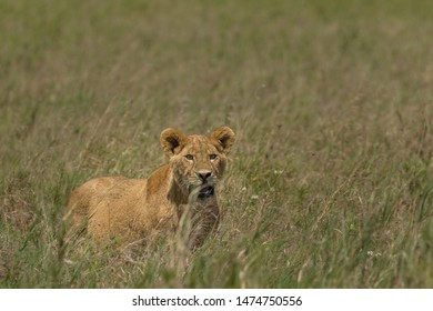 beautiful lioness hiding in grass and monitoring situation