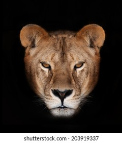 Beautiful lioness on a black background.