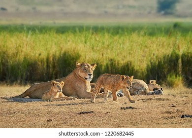 Beautiful lioness (Panthera leo) with cute lion cubs in Savannah. Pride of lions in wild life of natural reserve & natural habitat. Lion is one of African Big Five game animals, Kruger, South Africa