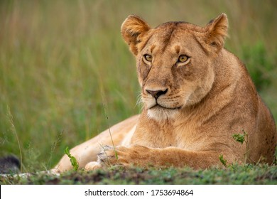 Beautiful lioness in the wild