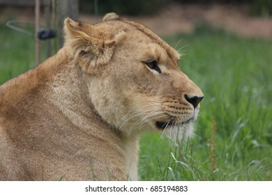 Beautiful lioness in a zoo