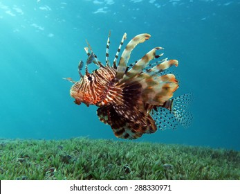 Beautiful lionfish hovering over seagrass