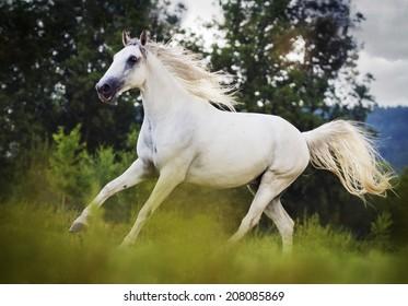 beautiful lipizzaner horse running in nature