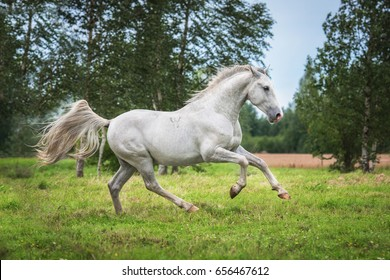 Beautiful lipizzaner stallion running on the pasture