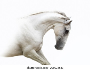 beautiful lipizzaner in white background