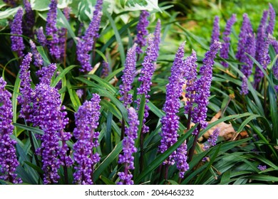 The beautiful liriope muscari or lily turf flowers in the garden
