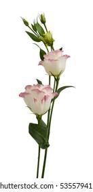 Beautiful Lisianthus flowers isolated on white background