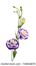beautiful Lisianthus flowers isolated on white background