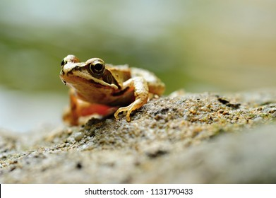 Beautiful little brown frog lying by the river