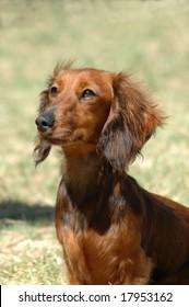 A beautiful little brown long haired miniature Dachshund dog