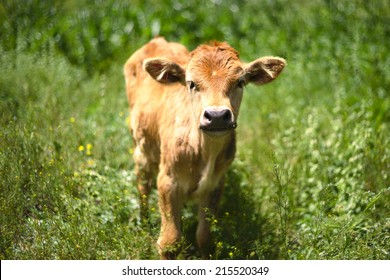 Beautiful little calf in green grass