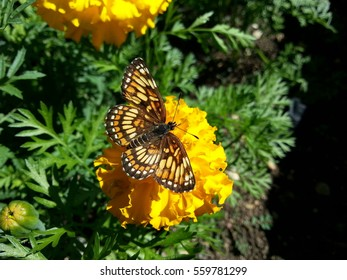 A beautiful little checkerspot butterfly feeding on a marigold blossom.