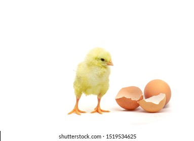beautiful little chicken, egg and eggshell isolated on the white