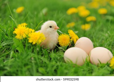 Beautiful little chicken on green grass in garden