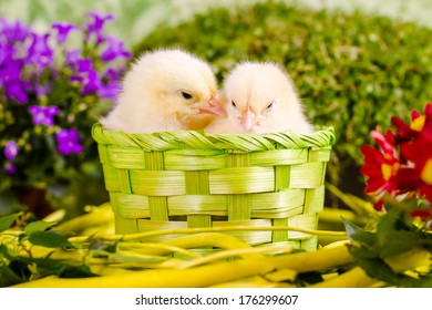 Beautiful little chickens