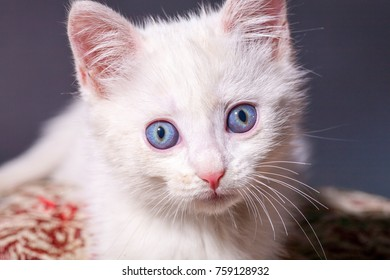 Beautiful little clean white kitten on a colored cushion