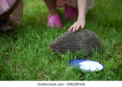 Beautiful little girl stroking a prickly hedgehog on a background of green grass. Hedgehog on the background of green grass.