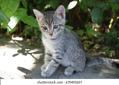 Beautiful little gray kitten sitting on hind legs against a background of green leaves